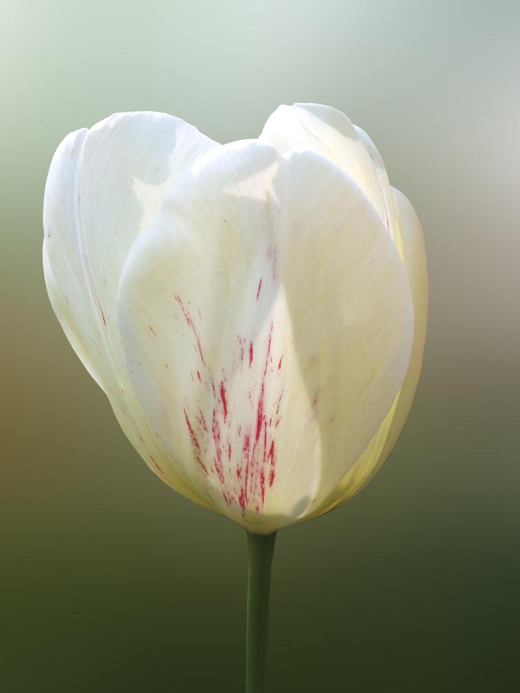 witte-tulpweb